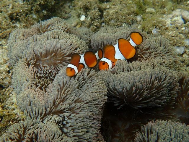 サンゴ礁とカクレクマノミ