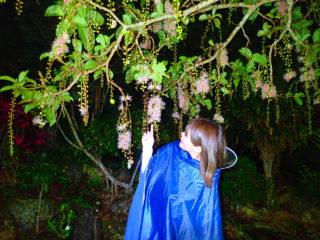 【期間限定】一晩で散る幻の「一夜花」サガリバナ鑑賞ナイトツアー