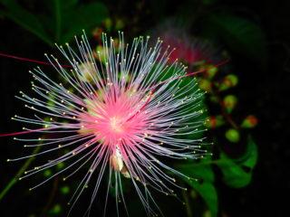 【期間限定】水面に浮かぶ「一夜花」サガリバナ!早朝ジャングルカヌー