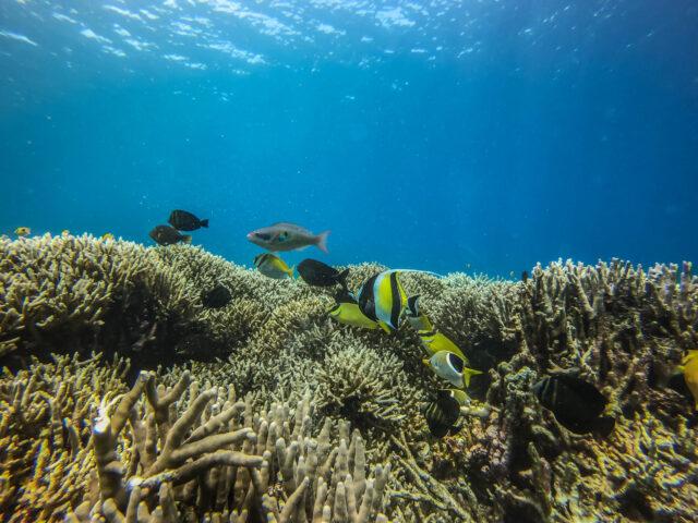 西表島 シュノーケリング 魚 サンゴ