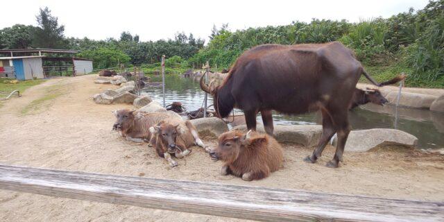 由布島の水牛池