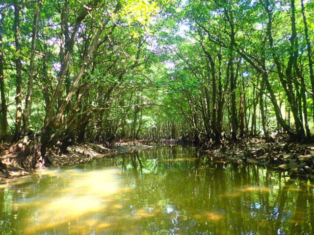 西表島 クーラ川 マングローブ
