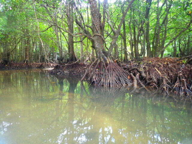 西表島 マングローブ 支柱根