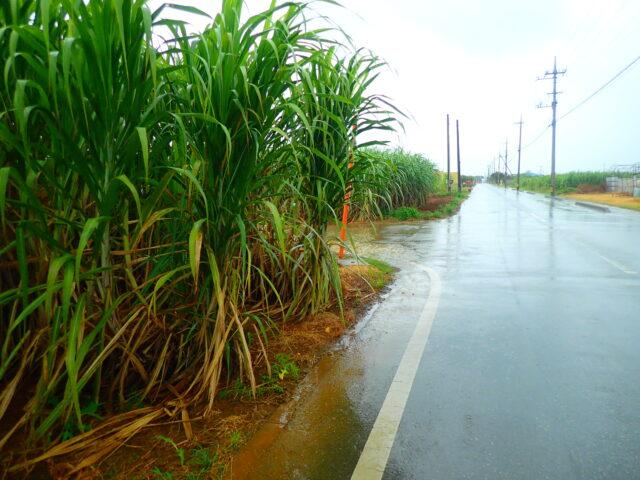 サトウキビ畑 雨