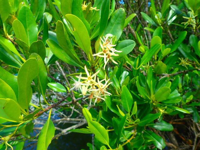 西表島 メヒルギ 花